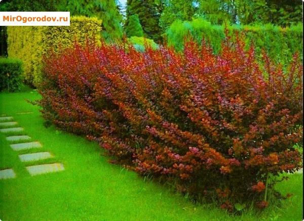 Барбарис «Оранж Рокет» украсит ваш сад, словно огонь камина