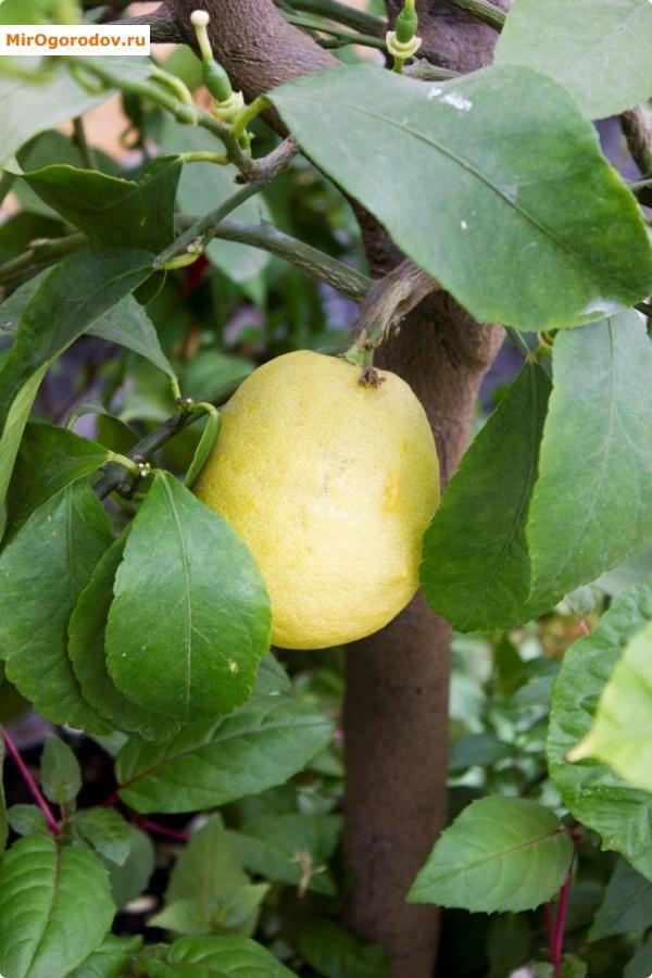 Плоды на лимонном дереве