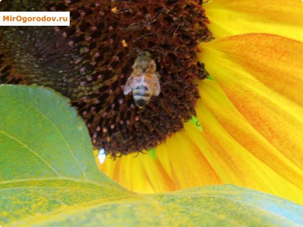 Подсолнухи привлекает насекомых-опылителей