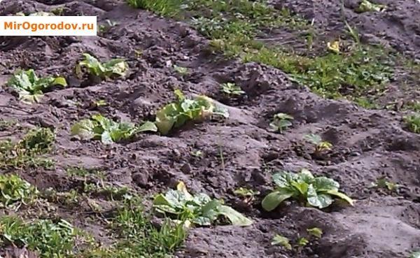 Совместная посадка пекинской капусты и садовой земляники