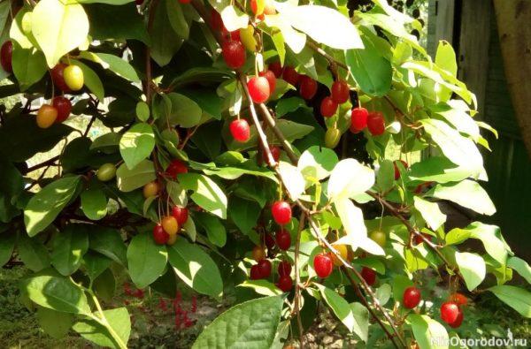 На ветке видны плоды в разной степени спелости