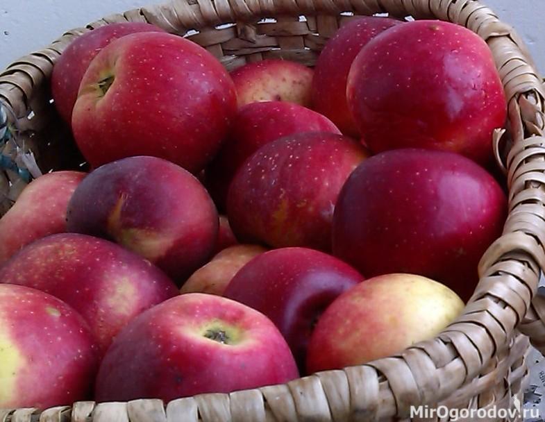 … и её румяные яблочки