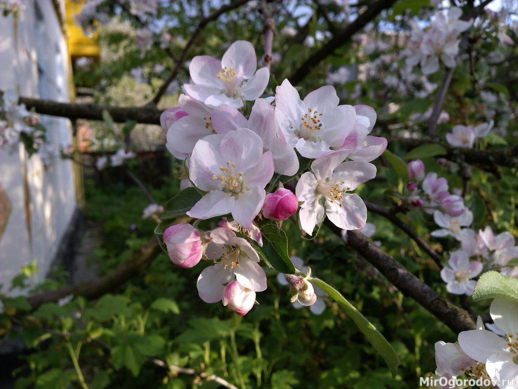 Цветёт ранняя яблоня Папировка (Белый налив)