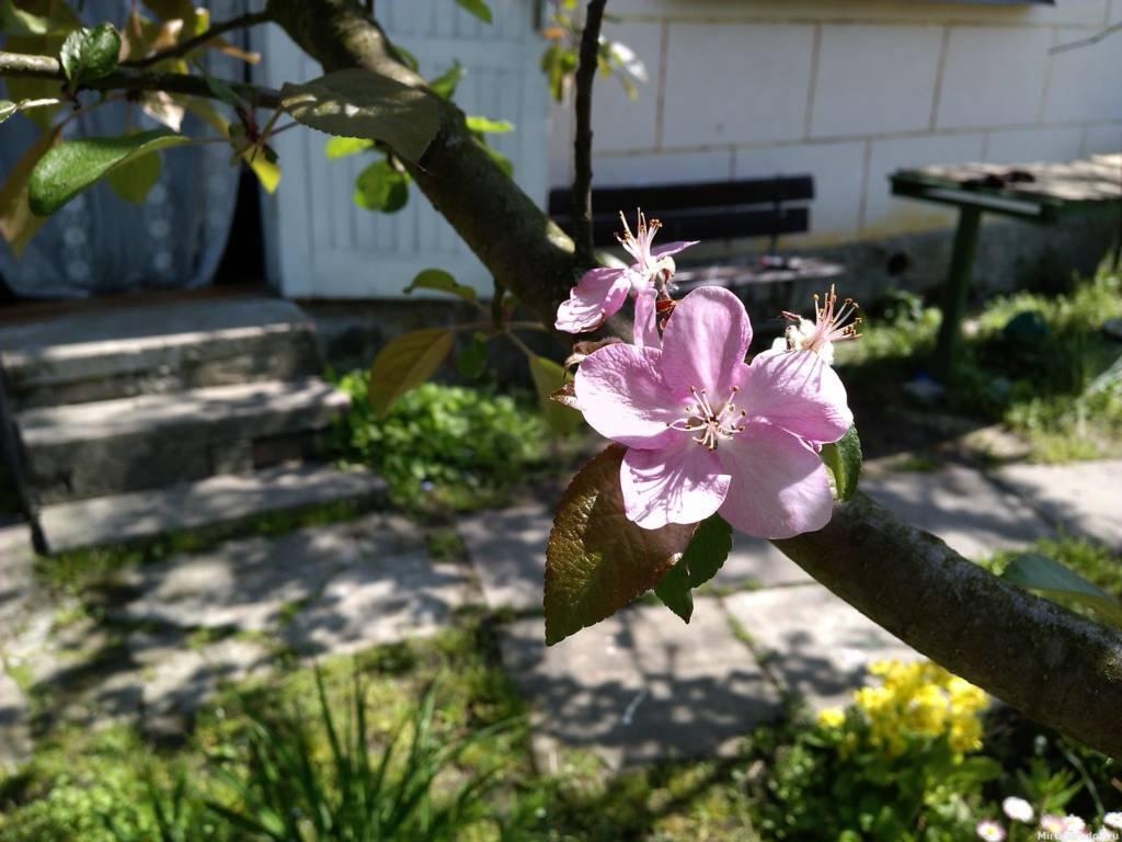 Цветение поздней яблони...