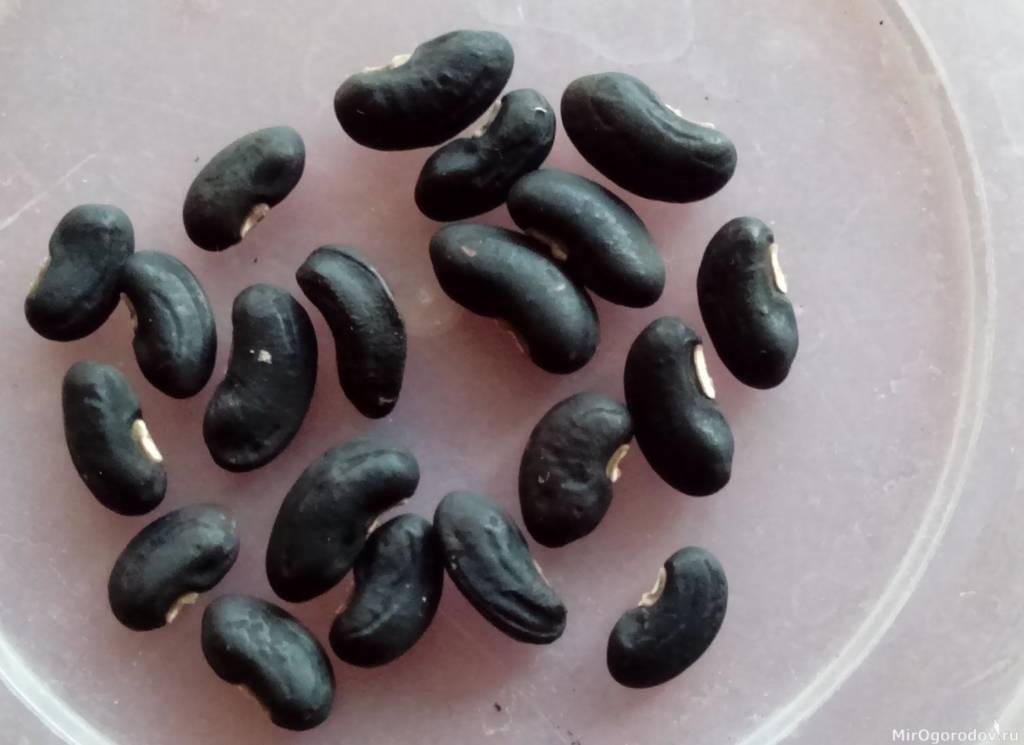 Семена вигны готовы к посеву