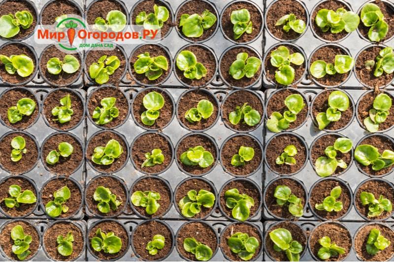 Выращивание клубневой бегонии из семян