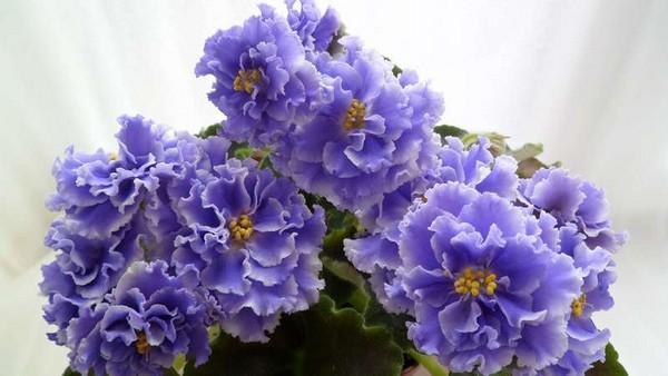 Пушистые головки цветов