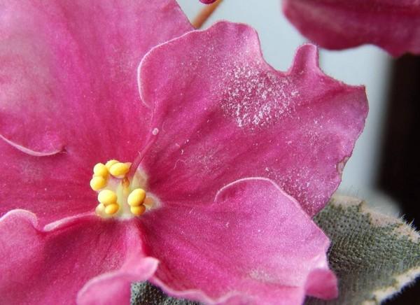 Мучнистая роса на цветке