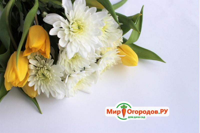 Тюльпаны и хризантемы