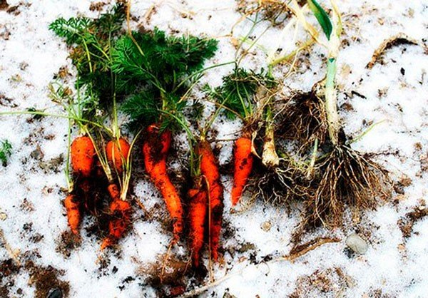 Морковь замерзла