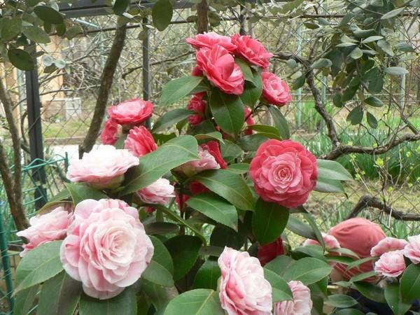 Камелия, посадка и уход. Особенности выращивания садовой камелии, разнообразие видов и сортов экзотического цветка