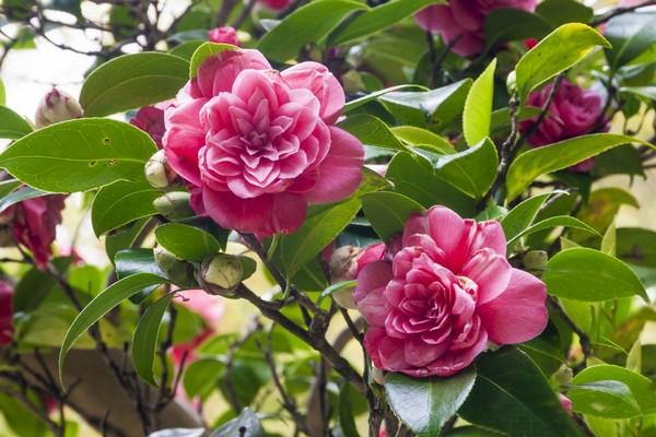 Ярко-розовые цветы