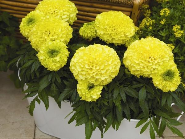 Желтые головки цветов