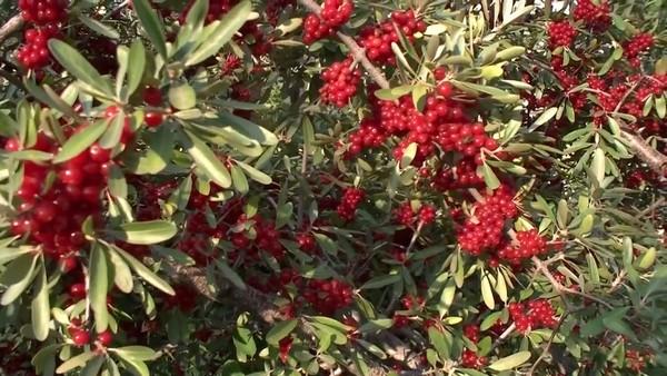 Облепиха с рубиновыми плодами