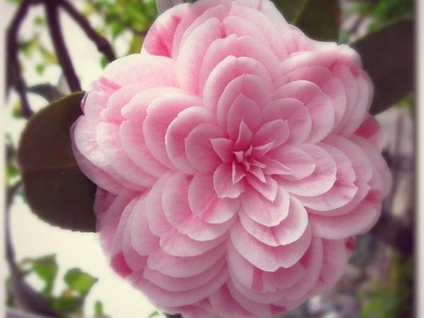 Розовая камелия
