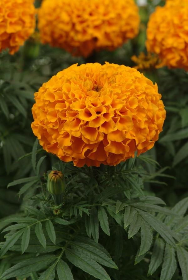 Апельсиновые бархатцы