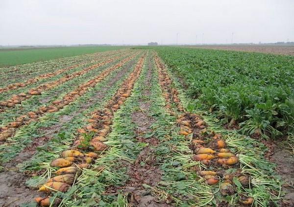 Урожай свеклы