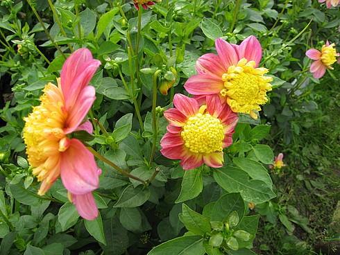 Цветы с желтой серединой и розовыми лепестками