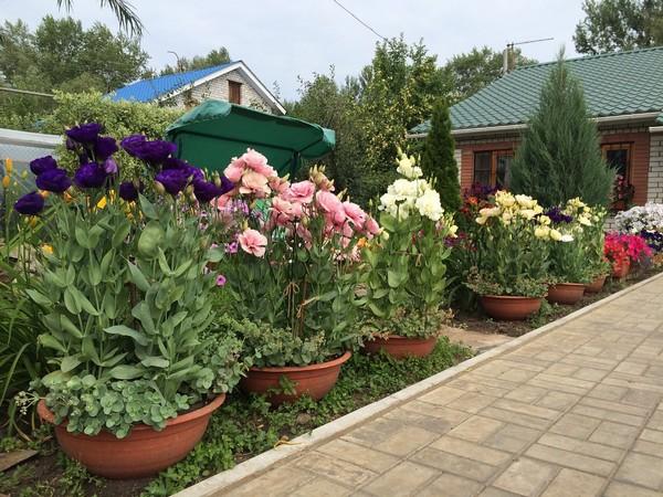 Эустомы в саду