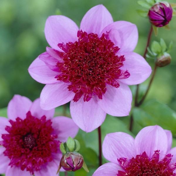 Махровая фиолетовая сердцевина и розовые лепестки