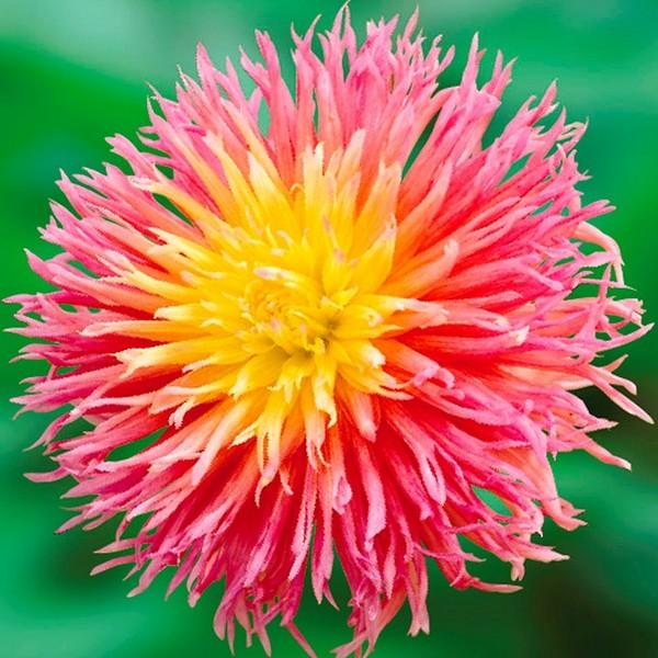Цветок яркий, как звезда