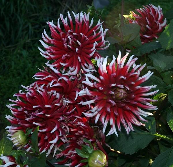 Представитель кактусовых георгинов сорта Фриколе