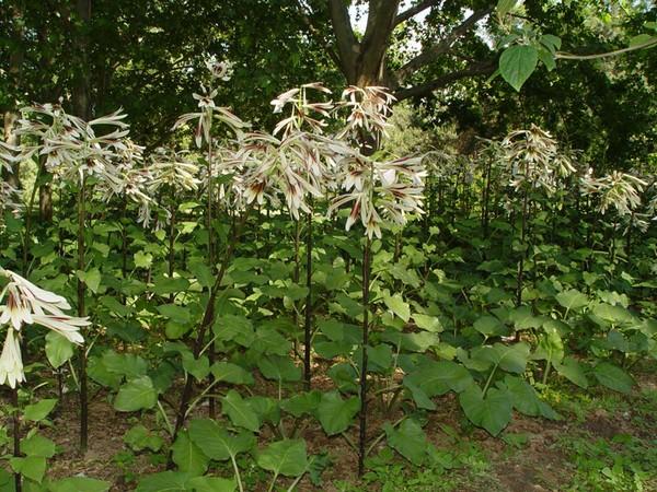 Лилейное дерево в дикой природе