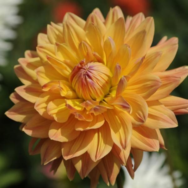 Крупный и пышный оранжевый цветок