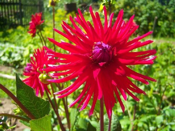 Крупный и яркий цветок - характеристика сорта Эндрю Митчел