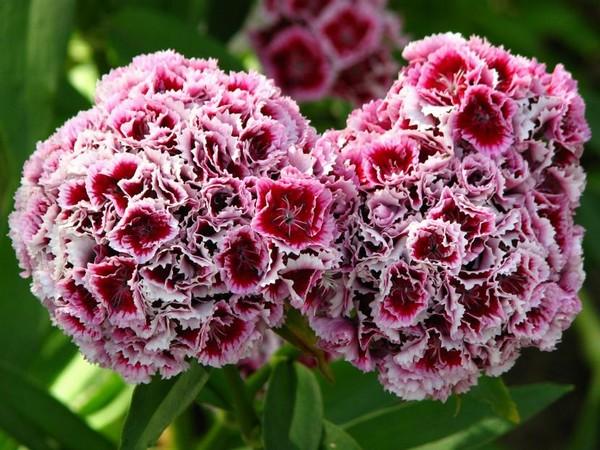 Пышные головки цветов