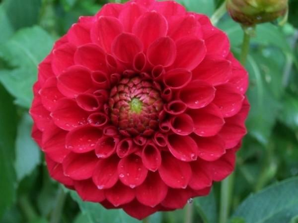 Яркий геогрин с цветком шаровидной формы