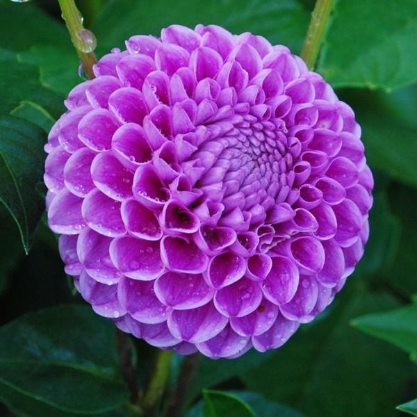 Идеальный шар лилового цвета