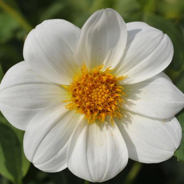 Белоснежный цветок с желтой сердцевиной