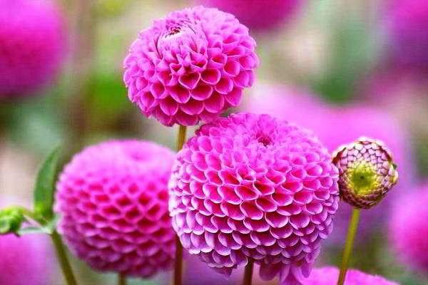 Розовые шарики сорта Акробат