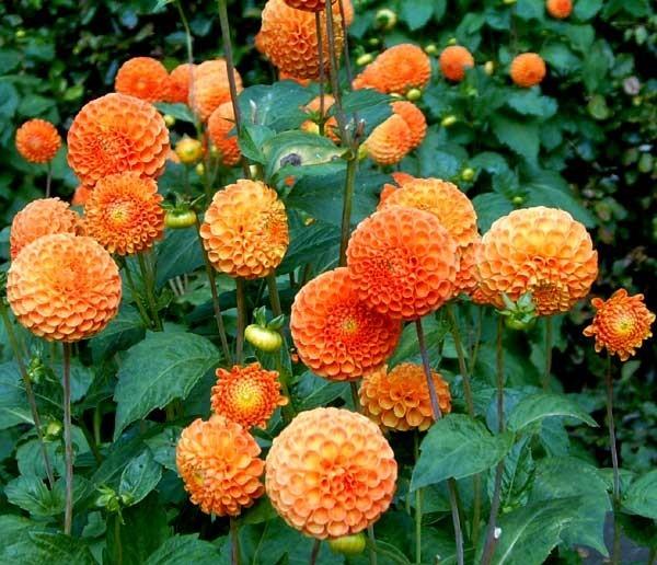 Упругие оранжевые головки георгинов Бантлинг