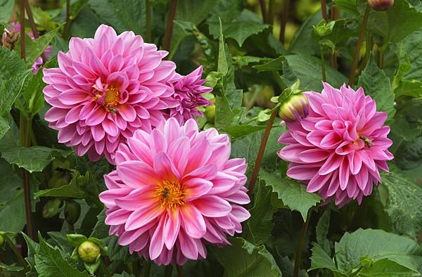 Розовые пышные цветы