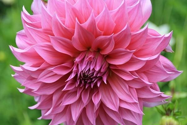 Крупный розовый цветок с многорядными остроконечными лепестками