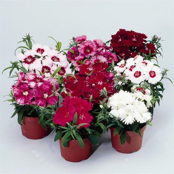 Пестрые цветы в горшках