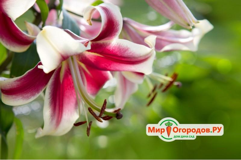 Лилии трубчатые