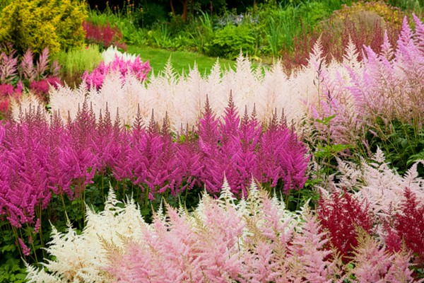 Разноцветные ряды цветов
