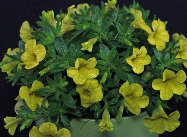 Цветы после опрыскивания