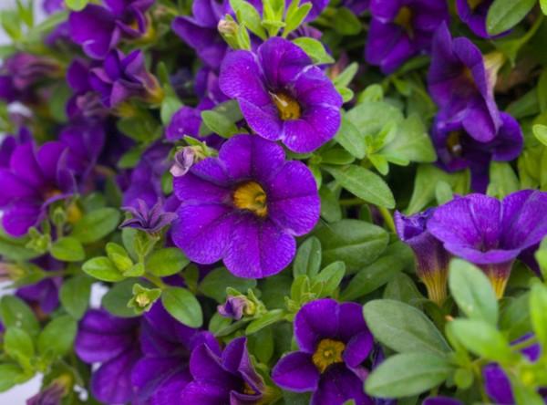 Цветкы серии Каблум яркие