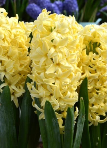 Желтые гиацинты