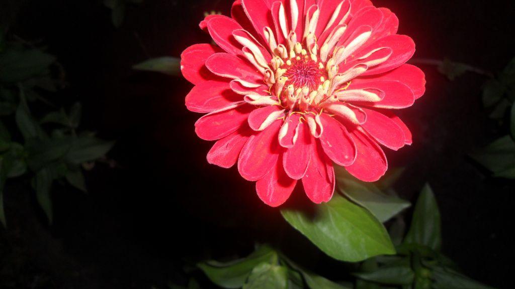 цветок циннии