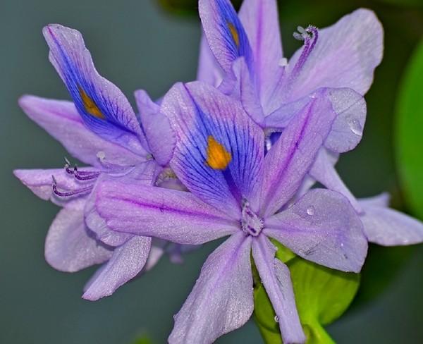 Эйхорния цветет