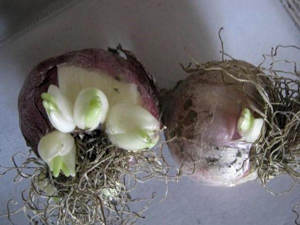 Готовые луковицы
