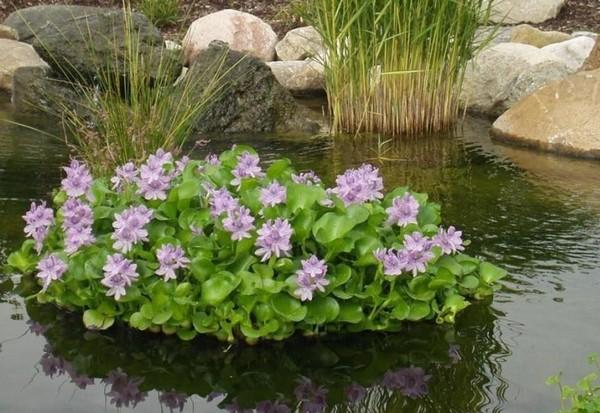 Водяной гиацинт в пруду