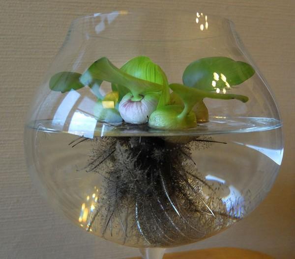 Водяной гиацинт в бокале