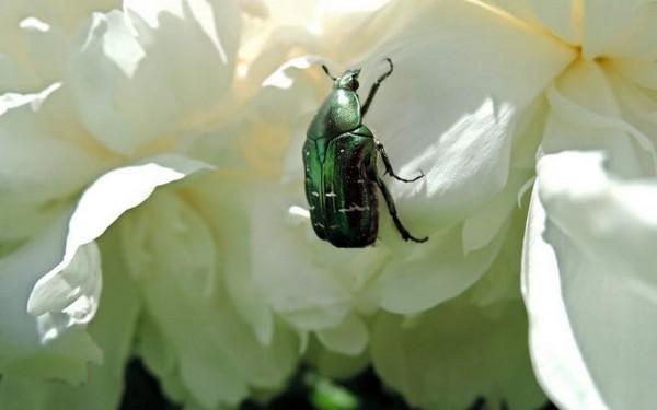 Вредитель на цветке