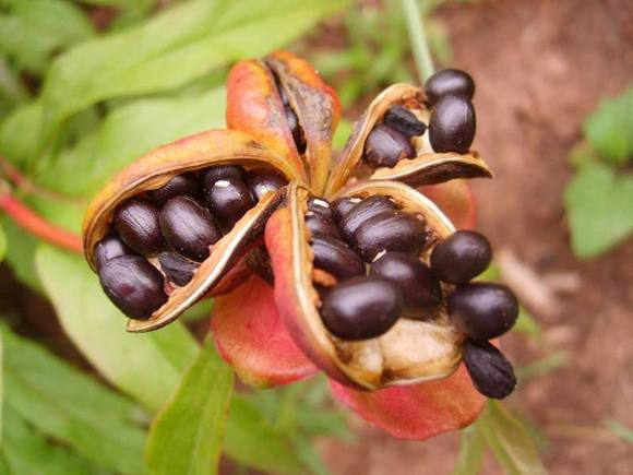 Семена созрели